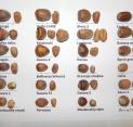 Lazdynų riešutų dydžių palyginimai